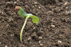 Seedling growing out of soil, Maharashtra, India. Seedling growing out of soil in Maharashtra, India royalty free stock photos
