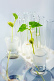 Seedling growing in petri dish in biotechnological  laboratory. Stock Photo