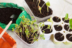 Seedling growing in pots. Various seedling growing in pots with soil Royalty Free Stock Photos