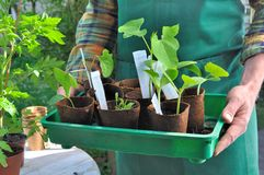 Seedling in growing pots Stock Photography