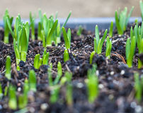 Seedling growing Royalty Free Stock Photography