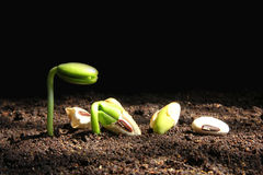 Seedling growth from seed. Growth of seedling form seed stock image