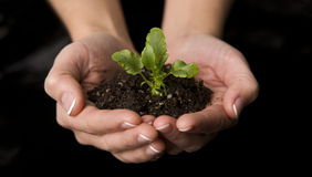 Seedling Plant Growing Dirt Patch in Human Hands Royalty Free Stock Image