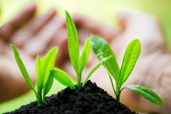 Seedling in hands  with abundance soil and blurry green background with sun light royalty free stock photos