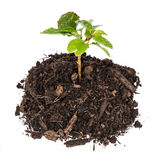 Seedling in a heap of earth Stock Images