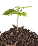 Seedling in a heap of earth Royalty Free Stock Photo
