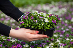 Seedling holding Close up of pretty pink, white and purple Alyssum flowers,  the Cruciferae annual flowering plant Stock Photos