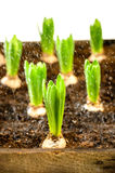 Seedling of hyacinth bulbs spring flowers Stock Image