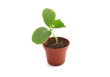 Free Seedling In A Pot Royalty Free Stock Photos - 18385278