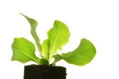 Seedling of lettuce. Before a white background Royalty Free Stock Photos