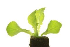 Seedling of Lettuce. Before white background Stock Photography