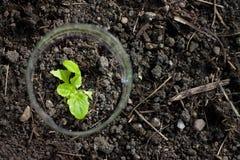 Seedling of lettuce grown on yard Stock Photo