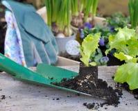 Seedling of lettuce Stock Image
