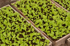 Seedling. Lettuce is seedled in a boxes Royalty Free Stock Images