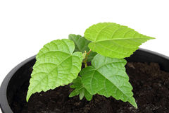 The seedling Royalty Free Stock Photography
