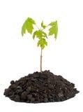 Seedling maple Royalty Free Stock Photo