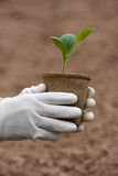 Seedling of marrow in hands Royalty Free Stock Photography