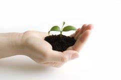 Seedling na mão Imagens de Stock Royalty Free