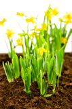 Seedling of narcissus spring flowers Stock Photography
