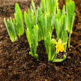 Seedling of narcissus spring flowers Royalty Free Stock Photography