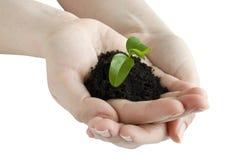 Seedling nas mãos Fotografia de Stock