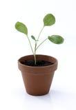 Seedling no potenciômetro Fotos de Stock