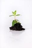 Seedling no solo no branco Imagem de Stock Royalty Free