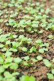 Seedling novo Imagem de Stock