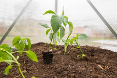 Seedling Paprika (Capsicum, Peppers) Plants with root System bet Royalty Free Stock Photo