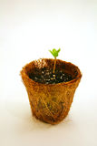 Seedling on peat pot. Morning glory seedling in biodegradable peat pot Royalty Free Stock Image