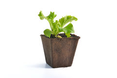 Seedling in peat pot Royalty Free Stock Images
