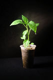 Seedling pepper on a black background. Watering Young seedlings of Bulgarian pepper on a black background Stock Images