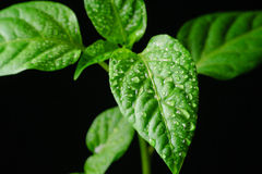 Seedling pepper on a black background Stock Photography