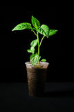 Seedling pepper on a black background. Young seedlings of bell pepper on a black background Stock Images