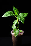 Seedling pepper on a black background. Young seedlings of bell pepper on a black background Royalty Free Stock Image