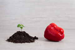 Seedling of pepper and red bell pepper on light background Royalty Free Stock Photos