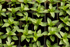 Seedling pepper in small pots which stand in a row, view from above. Little pepper seeding on a greenhouse table stock images