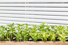 Seedling of pepper on the window sill. Stock Photos