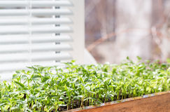 Seedling of pepper on the window sill. Stock Image