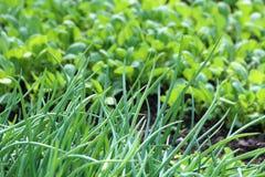 Seedling.  Royalty Free Stock Image