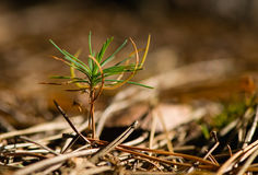 Seedling pine Royalty Free Stock Photos