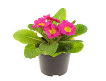 Seedling of pink primrose Royalty Free Stock Photo