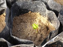 Seedling Pistachio in Plastic Bags Royalty Free Stock Image