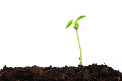 Seedling plant Royalty Free Stock Image
