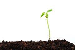Seedling Plant Royalty Free Stock Image