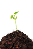 Seedling plant Royalty Free Stock Photography
