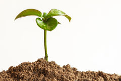 Seedling plant with black earth Royalty Free Stock Images