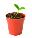 Seedling of  plant in flowerpot is isolated on white Royalty Free Stock Image