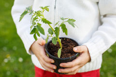 Seedling plant in the hands of a small child Stock Photo