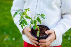 Seedling plant in the hands of a small child Royalty Free Stock Photography
